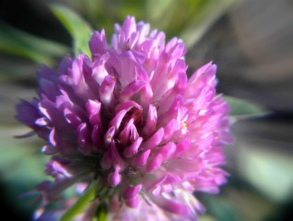 Клевер цветы фото и названия
