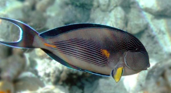Arabian surgeon fish for Fish tail fin