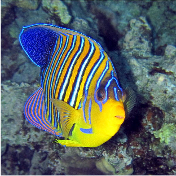 Red and blue striped fish