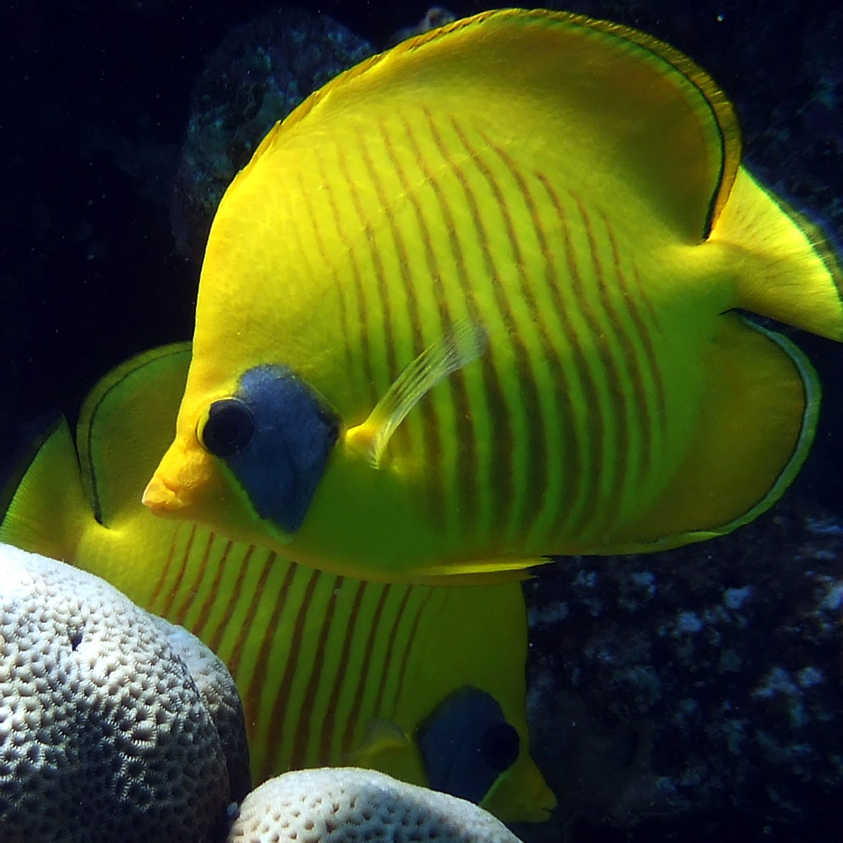 Masked butterflyfish for Red sea fish