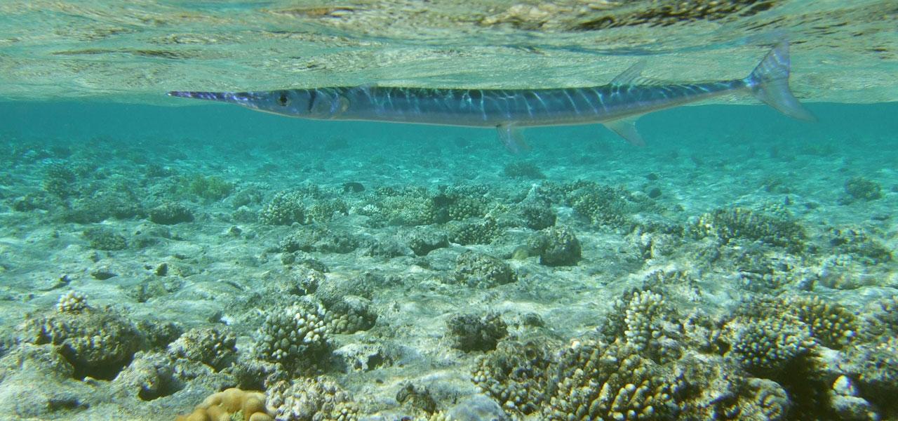 Needlefish tylosurus choram photo 1280x600 for Red sea fish