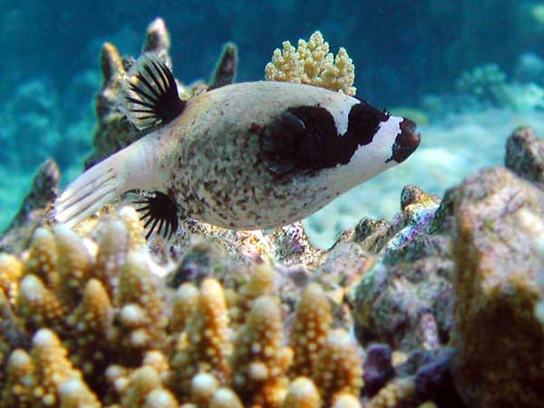 Masked pufferfish for Red sea fish