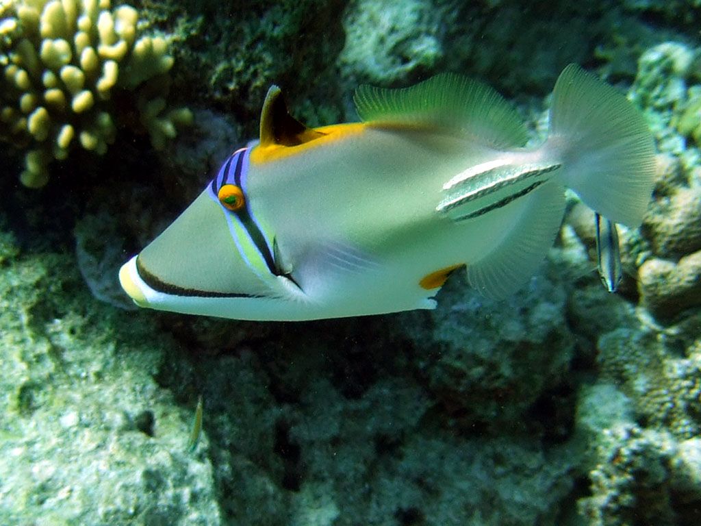 Picasso trigger fish with open dorsal fin photo 1024x768 for Red sea fish