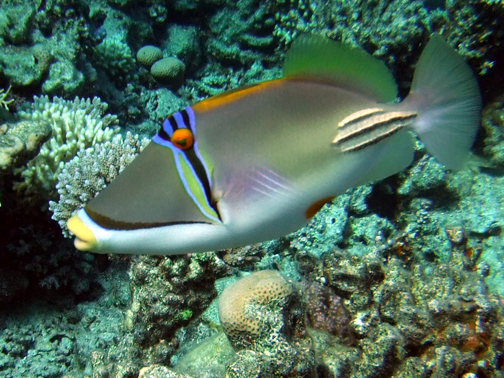 Arabian picasso trigger fish rhinecanthus assasi photo for Red sea fish