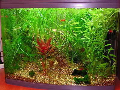 A well planted       green tank with a red plant in the center and a cave in deep