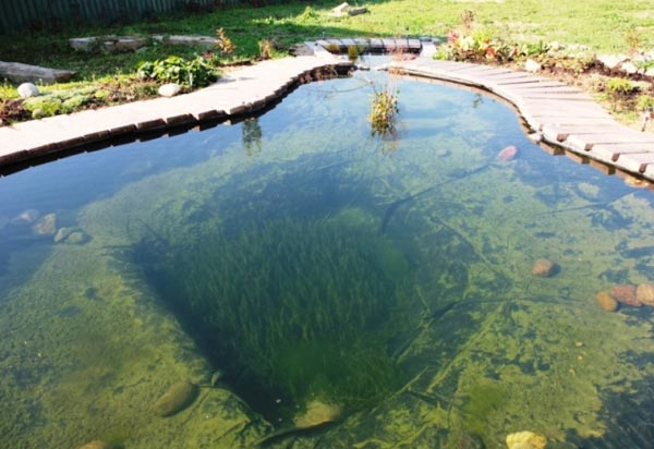 Сквозь прозрачную воду видны заросли зелёной элодеи в центре пруда.