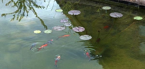 Пруд в начале августа. Среди листьев кувшинки плавают золотые караси и ситцевые караси.