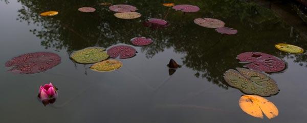 полузакрытый цветок кувшинки
