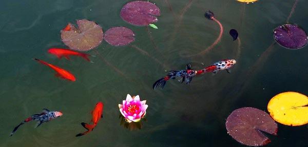 цветок кувшинки и красные караси